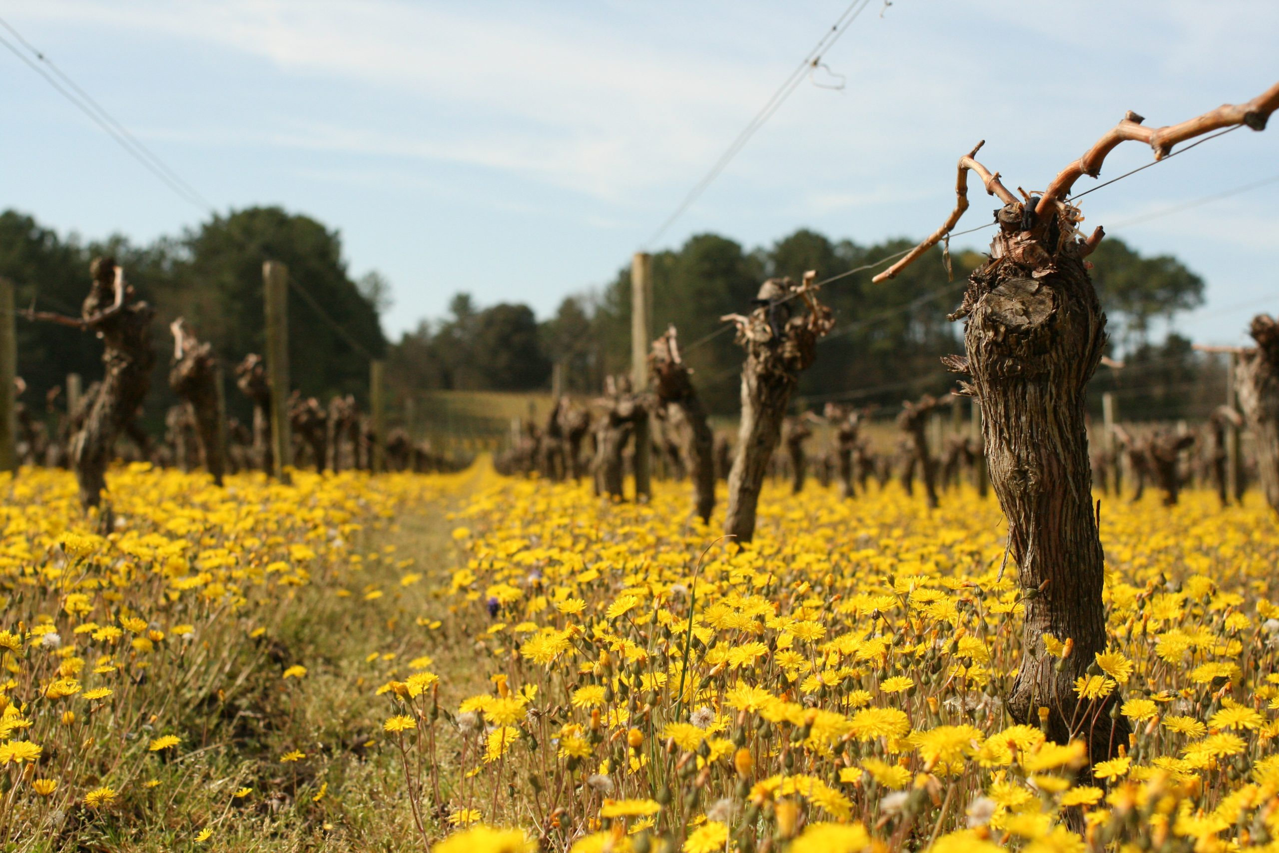 Pieds de vignes traités de façon éco responsable sur tout le vignoble UNI MEDOC