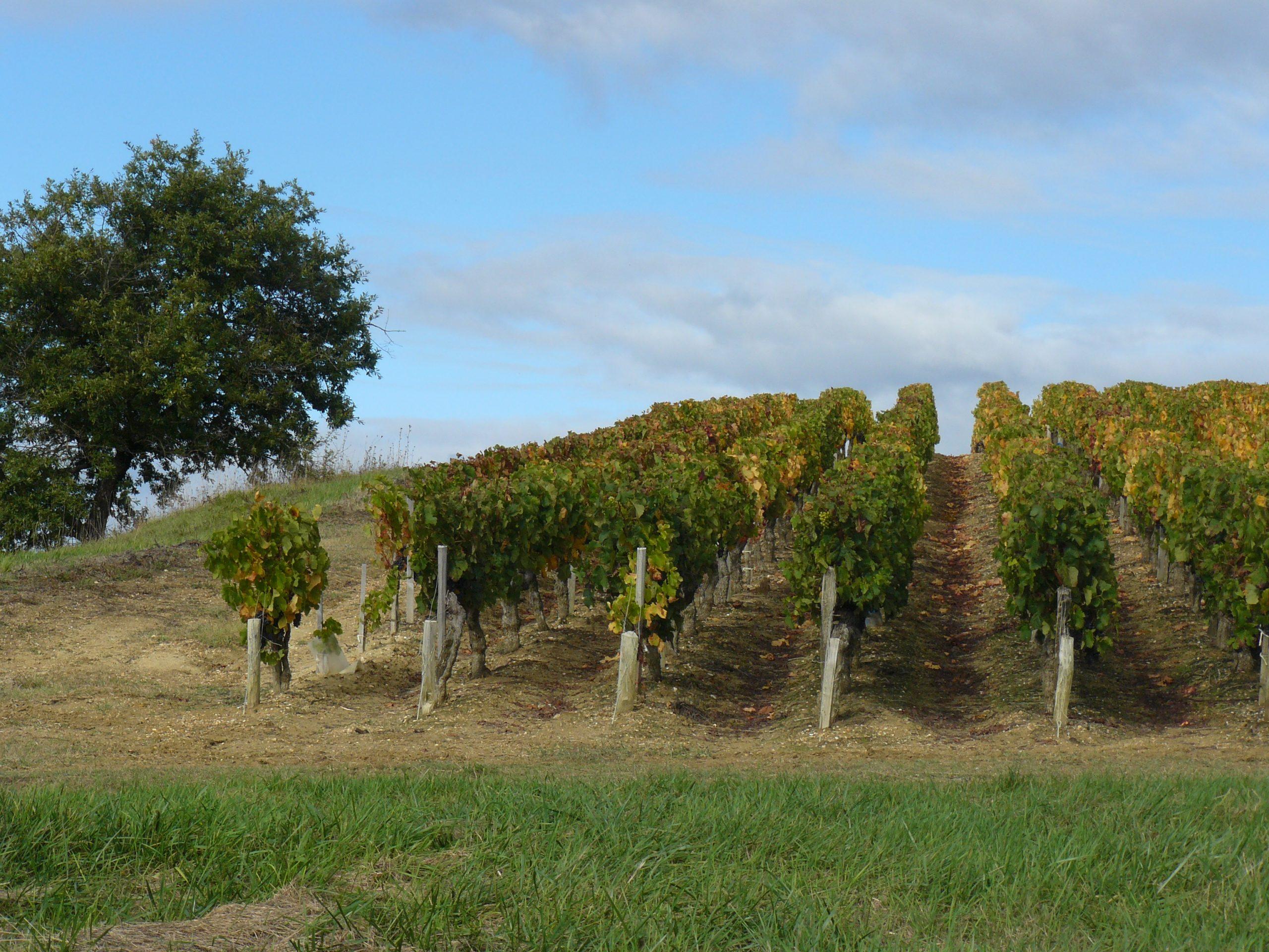 Carré de vignes des coteaux du Médoc